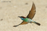 Bee-eater, Blue-throated @ Punggol
