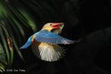 Kingfisher, Stork-billed @ Botanic Gardens