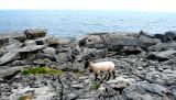 Inisheer sheep