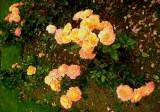 Brian's roses
