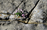 Blooming on the Burren