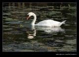 Feeding Swan, Stowe