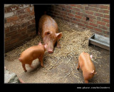 Back Garden Pig Sty, Black Country Museum