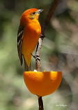 Flame Colored Tanager.jpg