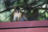 Mameo Squirrel