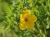 Cottoneaster Flower