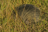 The porcupine in question