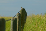 Bird on a wire.....errrr...fencepost