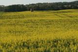 Rolling fields of Canola