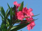 Oleander 020.jpg