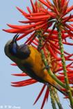 Orange-bellied Leafbird 06
