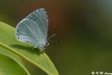 Celastrina lavendularis 04