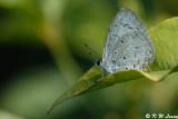 Celastrina lavendularis 03