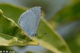 Celastrina lavendularis 02