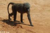 Baboon DSC_0427