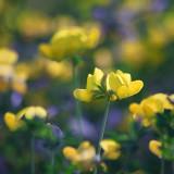 Yellow Wildflowers 16186