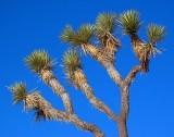 Joshua Tree 24704
