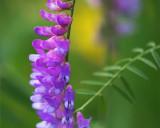 Purple Wildflower 16317