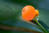 Sunstruck Orange Berry 20080717