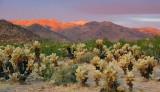 Cholla Cactus Garden At Sunrise 25973
