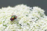Fly On Wild Carrot 20080722