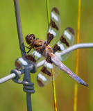 Dragonfly On A Fence 16772