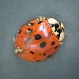 Dirty Ladybug 20080730