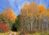 Autumn Birches 23021