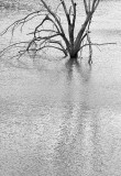 Drowned Tree (B&W) 20081028
