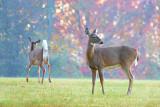 Two Dawn Deer 24240