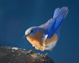 Bluebird On A Mirror 24954