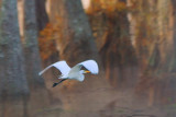 Egret In Flight 26213