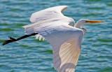 Egret In Flight 26404
