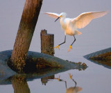 The Egret Is Landing 20081126