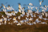 Snow Geese Flyout 30623