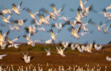 Snow Geese Flyout 30624