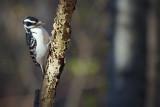 Hairy Woodpecker 52128
