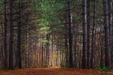 Pinhey Forest Trail 30 (20091103)