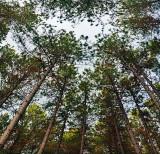 Pine Canopy 10108-10