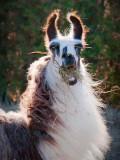 Backlit Hay-face Llama 20091118