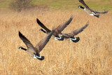 Geese Taking Flight 20091121