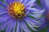 Purple Wildflower 41745