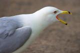 Squawking Gull 14747