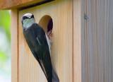 Tree Swallow On Bird Box 20080611