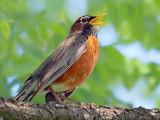 Robin Singing 20080613