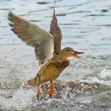 Excitable Duck 20080614
