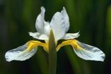 White & Yellow Flower 14956