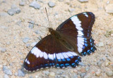 White Admiral Butterfly 15080