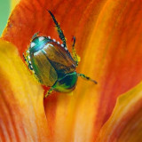 Bug On A Lily 20080630