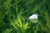 White Butterfly 15971